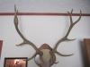 14 Elk Antlers