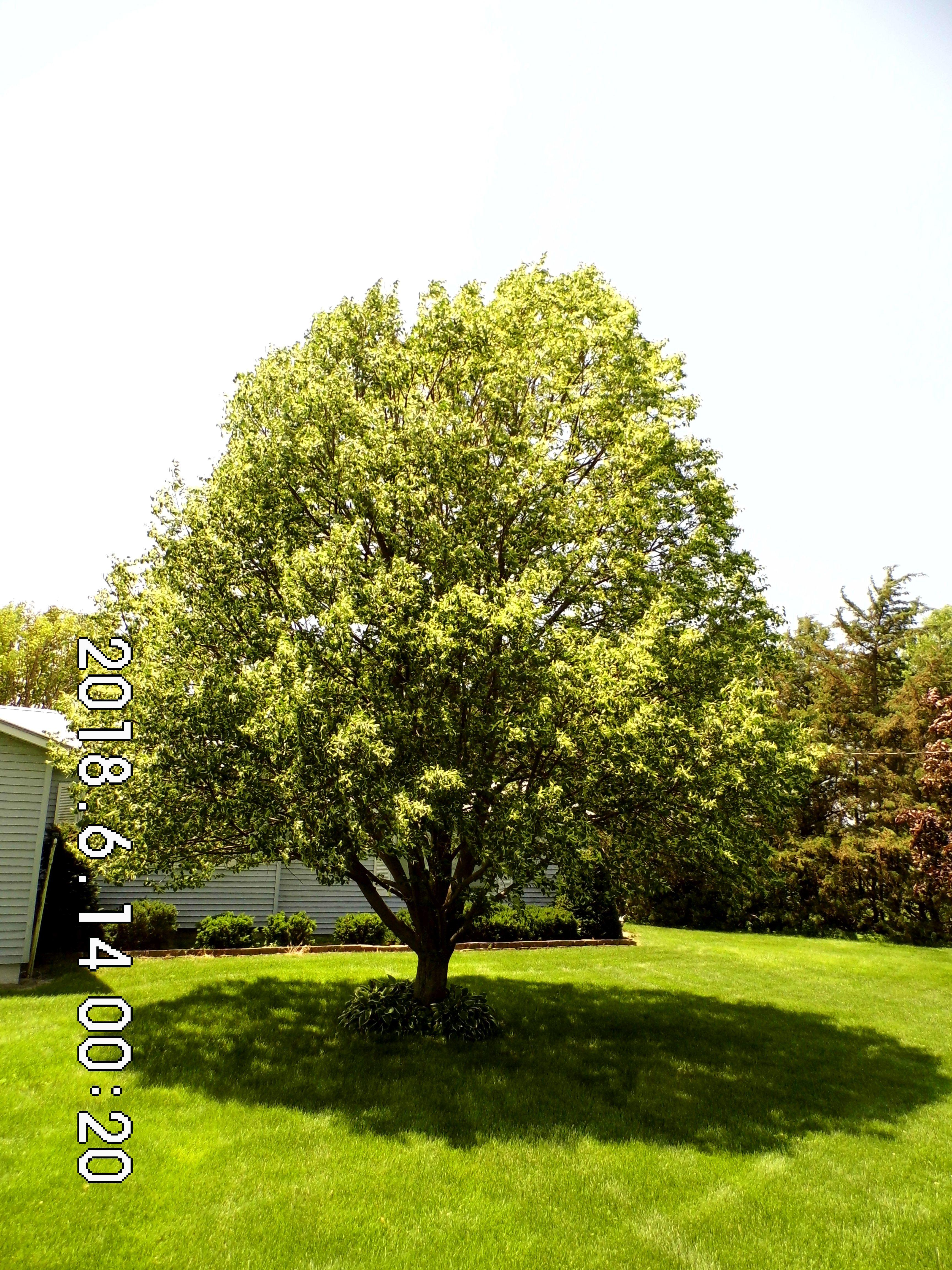 1.10 Little Leaf Linden