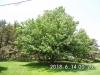 1.12 Maple Tree