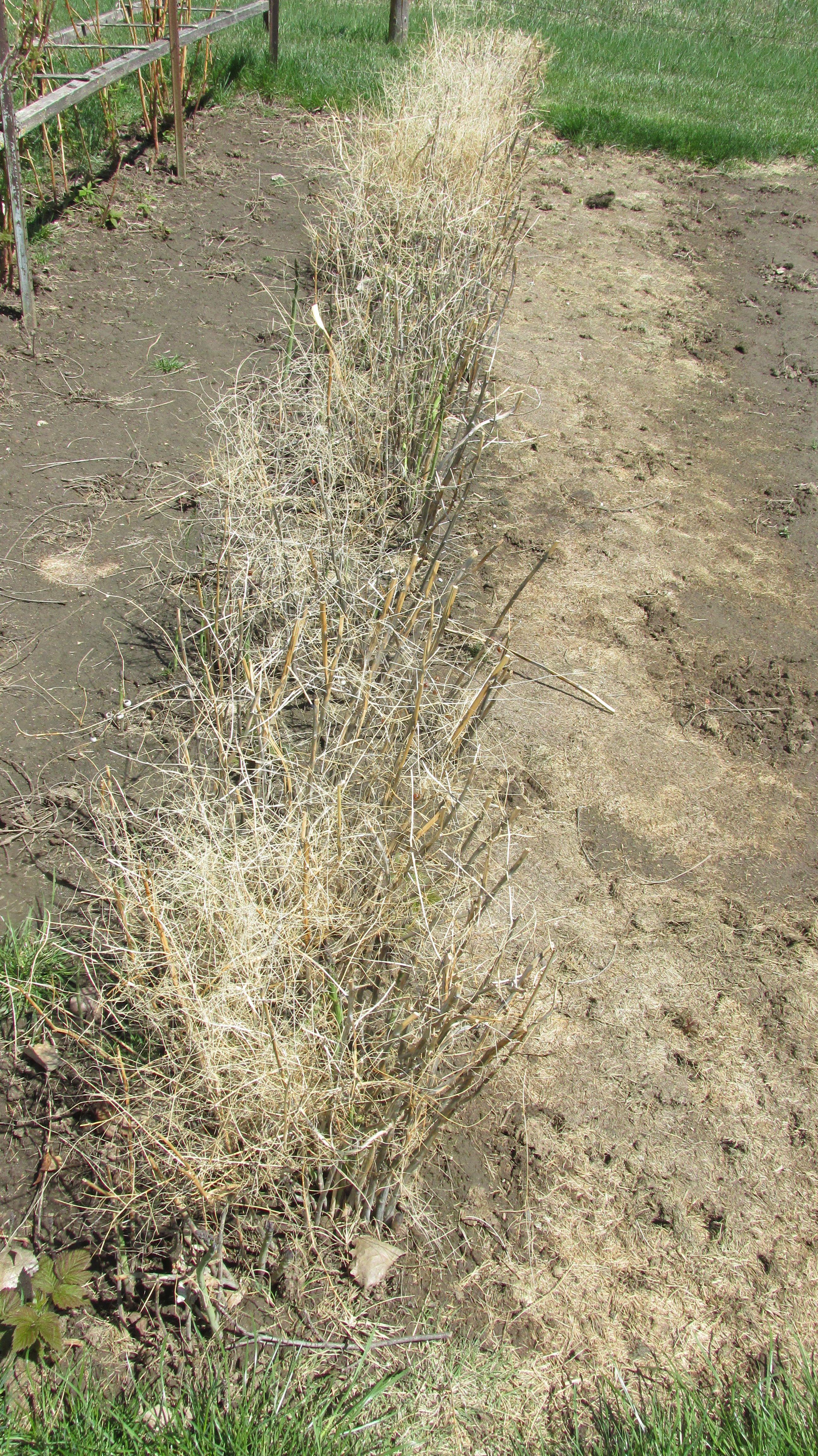 Aspargus plants